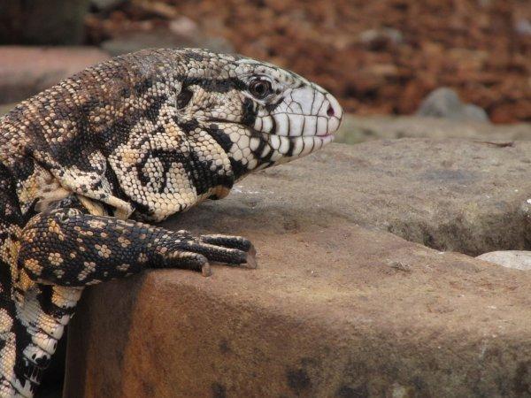 Ученые: Ящерицы тегу способны видеть сны