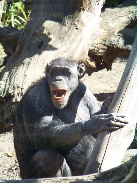 Ученые: Шимпанзе доказали, что умеют дружить