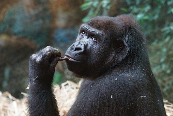 В человеческой любви к алкоголю виновны древние обезьяны