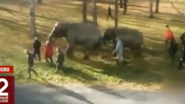 Два слона устроили настоящий переполох на улице российского города