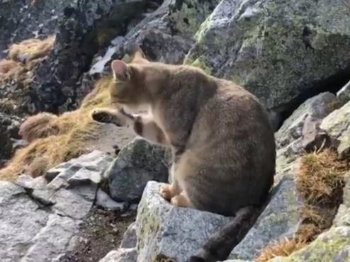 На высоте 2500 метров в горах альпинисты обнаружили домашнего кота – видео