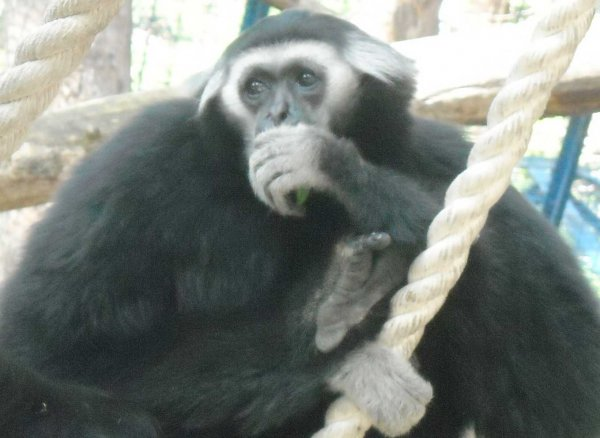 Гиббон из Франции приехал к самочке в Новосибирский зоопарк