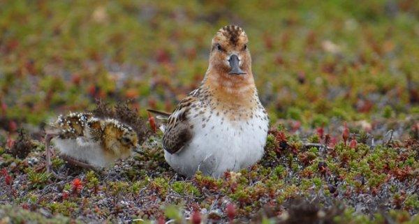 Ученые: Изменение климата Арктики сделало ее смертоносной для птенцов