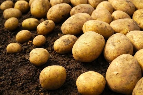 Тюменские селекционеры зарегистрировали новый сорт картофеля