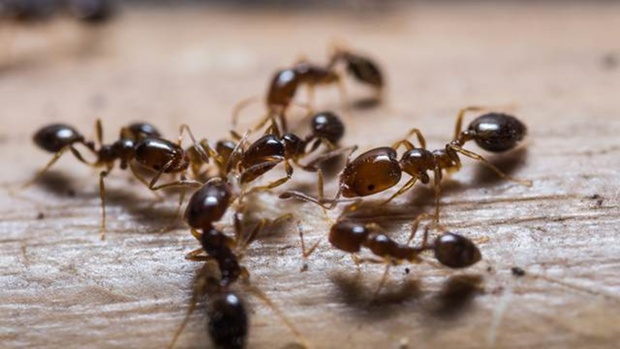Муравьи умеют защищать себя от заразных инфекций – ученые