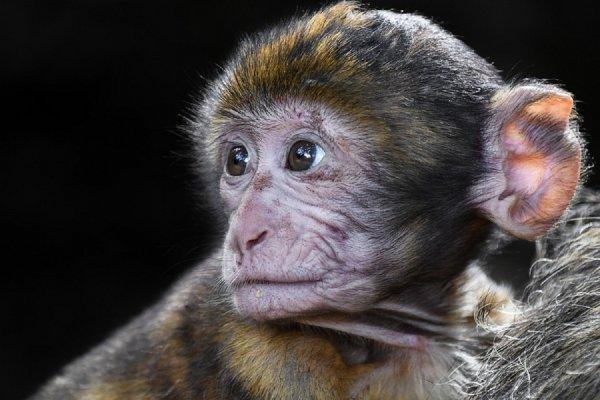 В Китае впервые клонировали пять макак с одинаковыми измененными генами