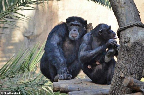 Ученые: Шимпанзе умеют общается по-человечески