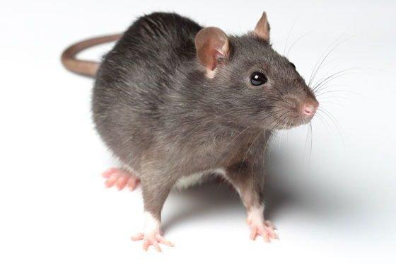 Крысы хотят «вкусненького»: Ученые рассказали о ментальной карте животных