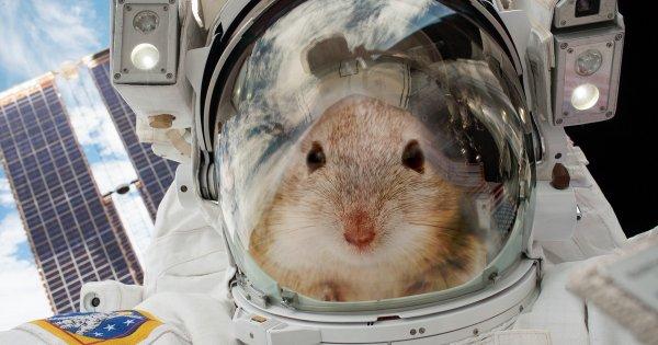 Эксперимент с мышами в МКС провалился – грызуны сошли с ума