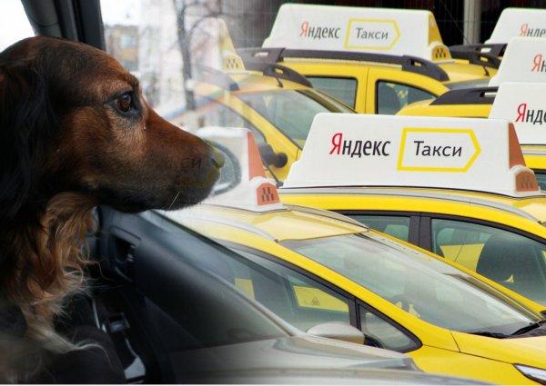 Вылезай и не гавкай: Клиенты «Яндекс.Такси» теряют деньги, сталкиваясь с отказом везти больное животное