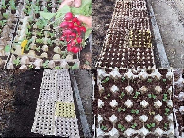 Выращивание редиса с применением яичных кассет